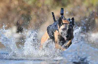 K9 running through water with camera on his back