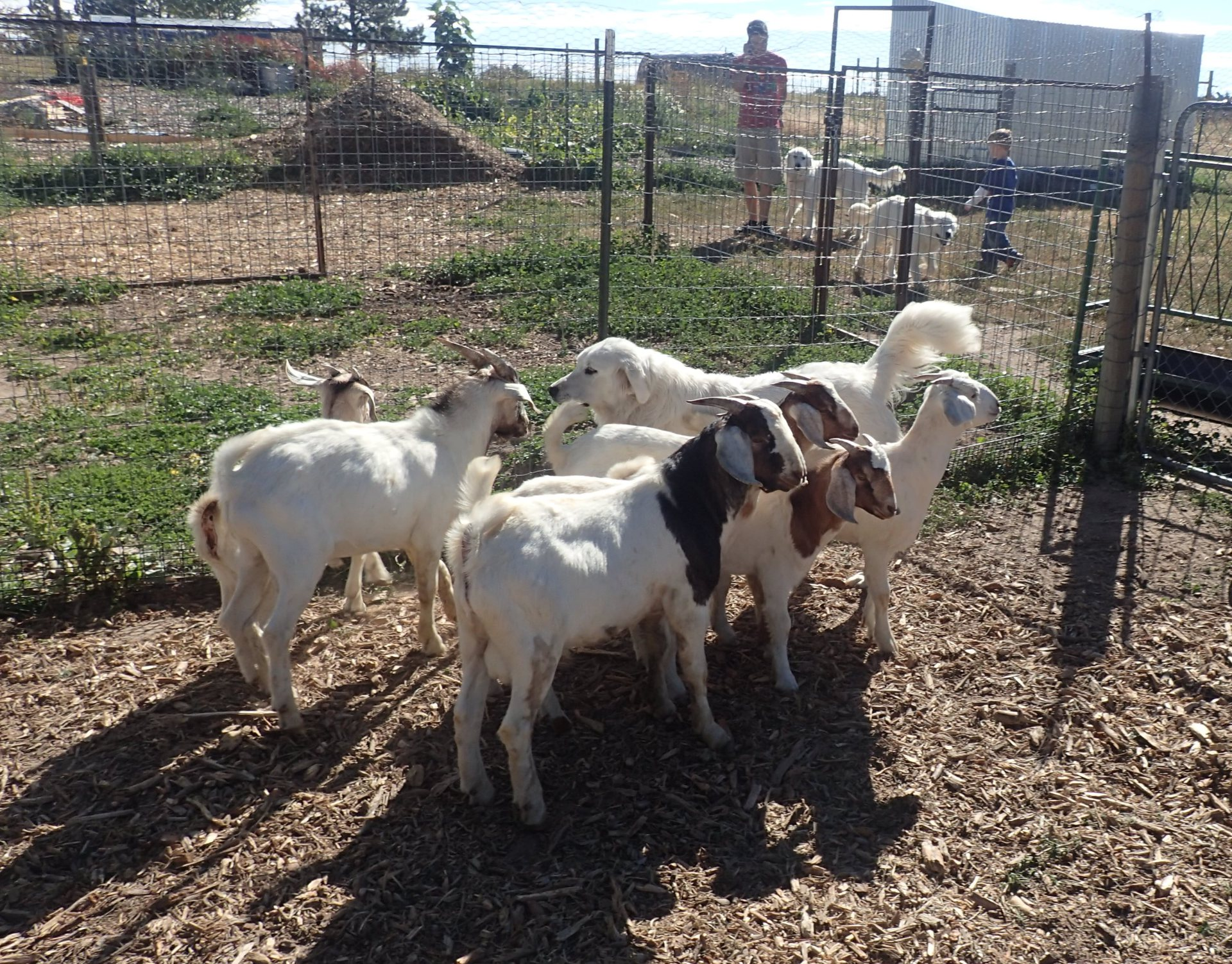 "Goats & ""One"" of my Great Dogs"