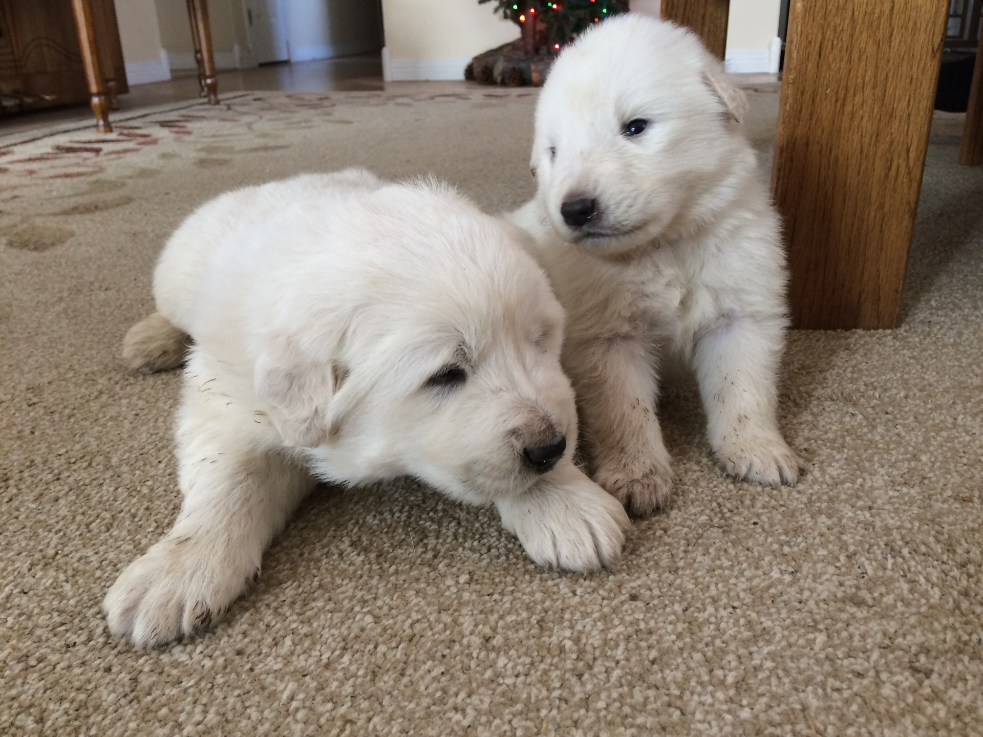 Two of Tayla's pups