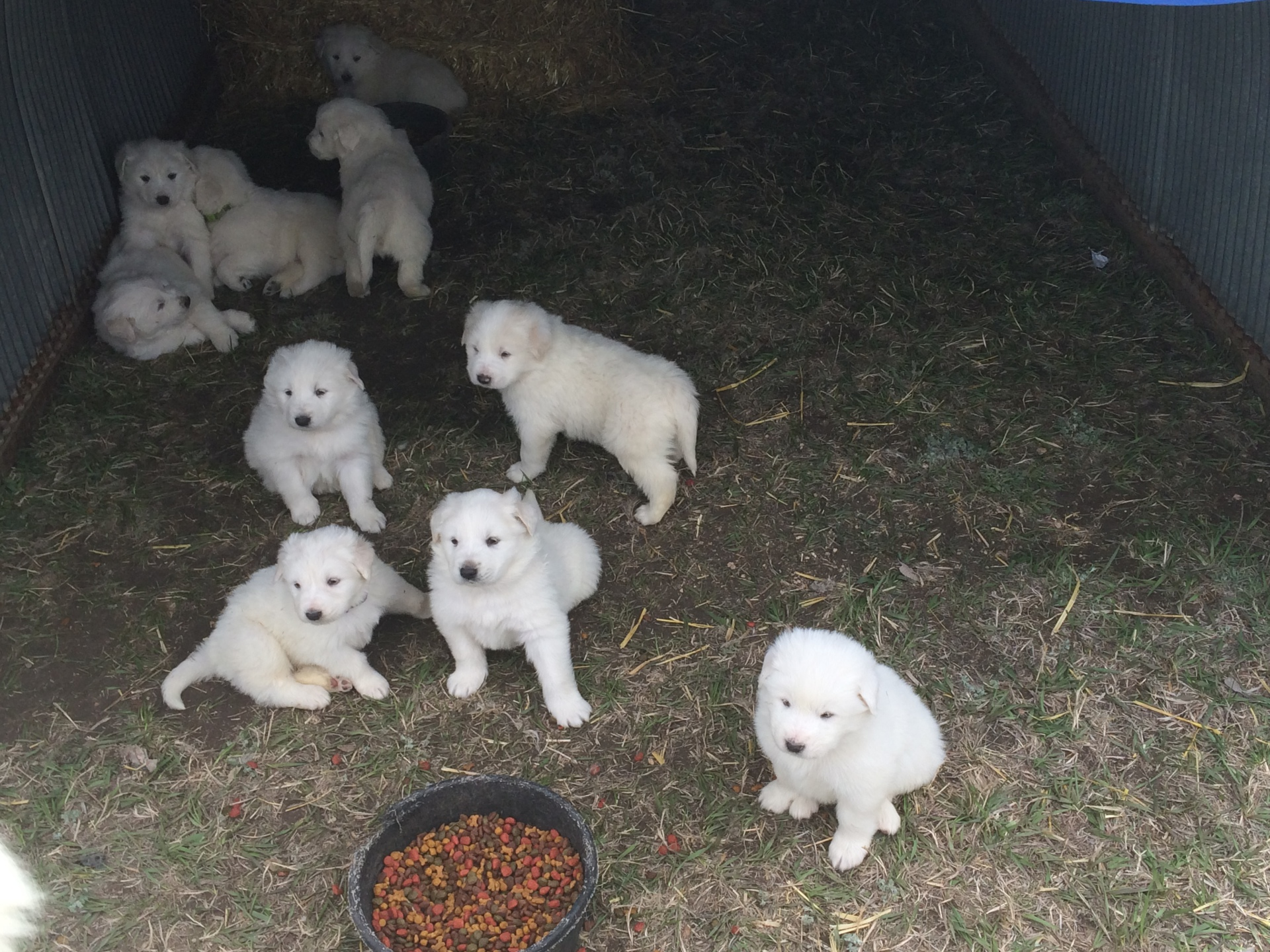 Lil's puppies at 4 1/2 weeks