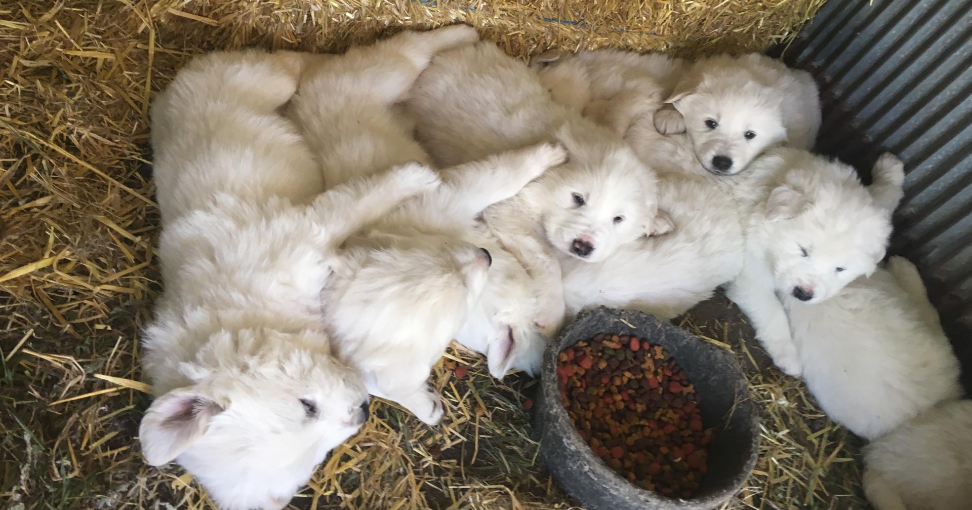 Tayla's pups at 4 weeks