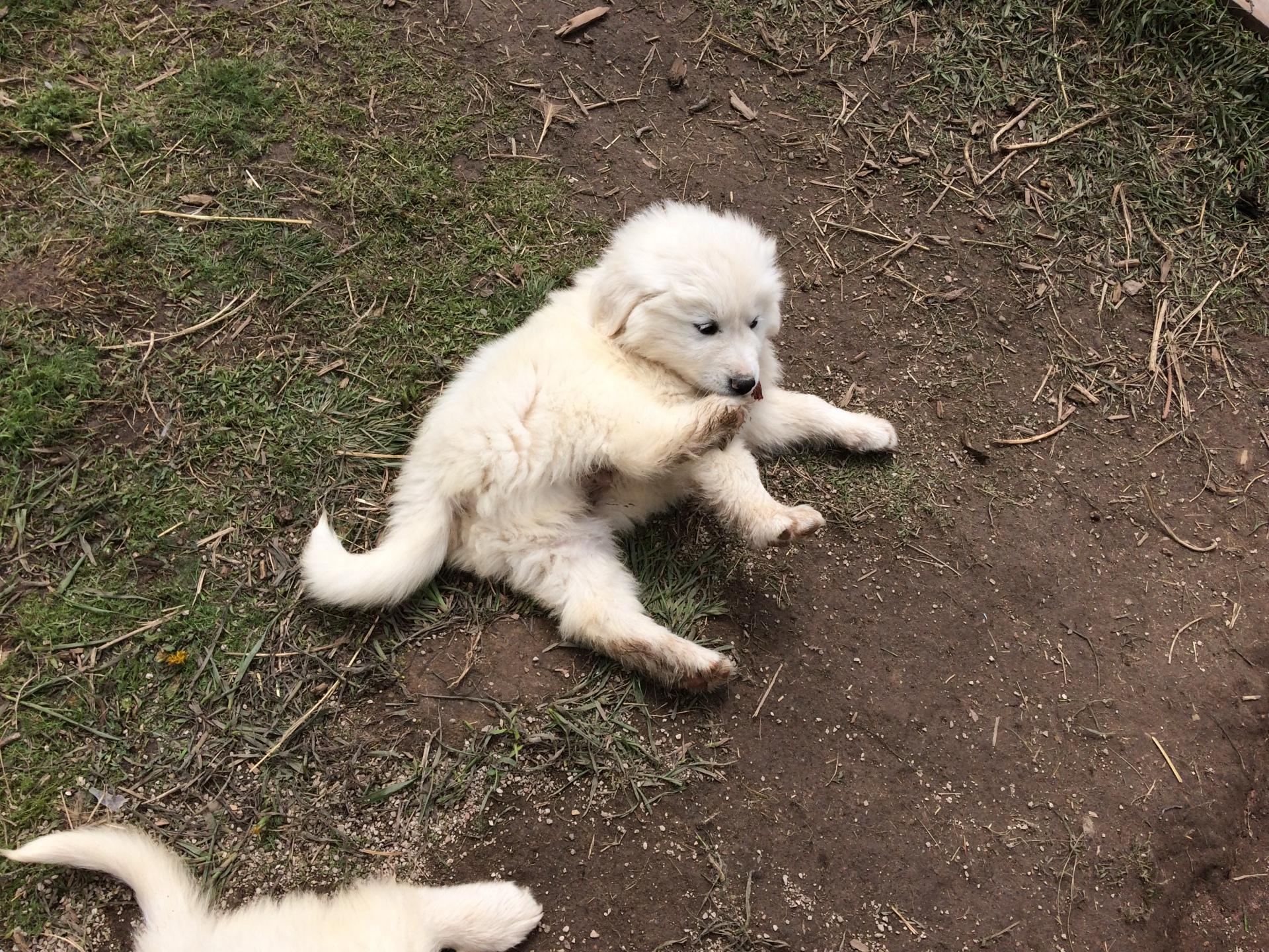 Tayla's puppy - 6 wks