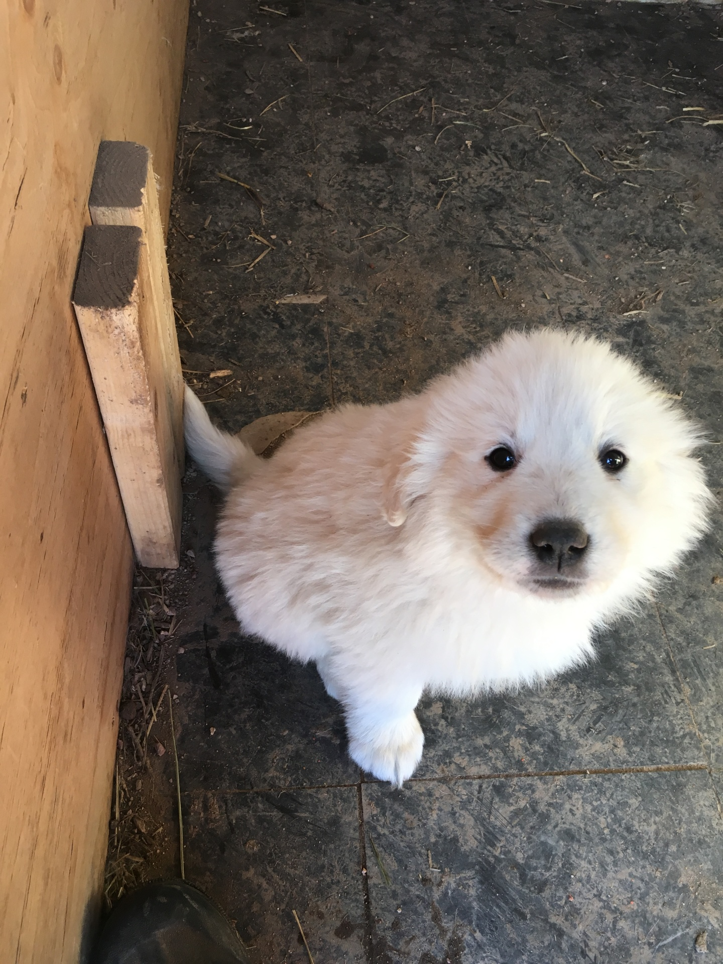 Black collar puppy (male)