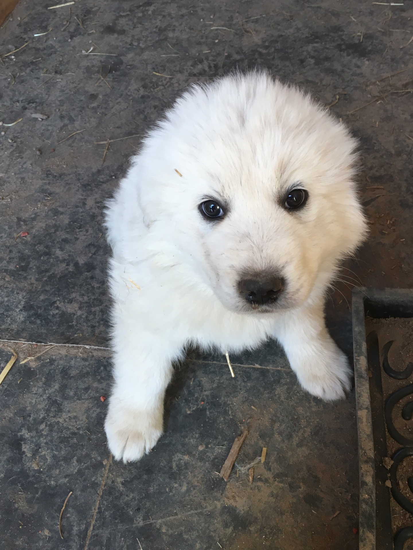 Blue collar puppy (male)