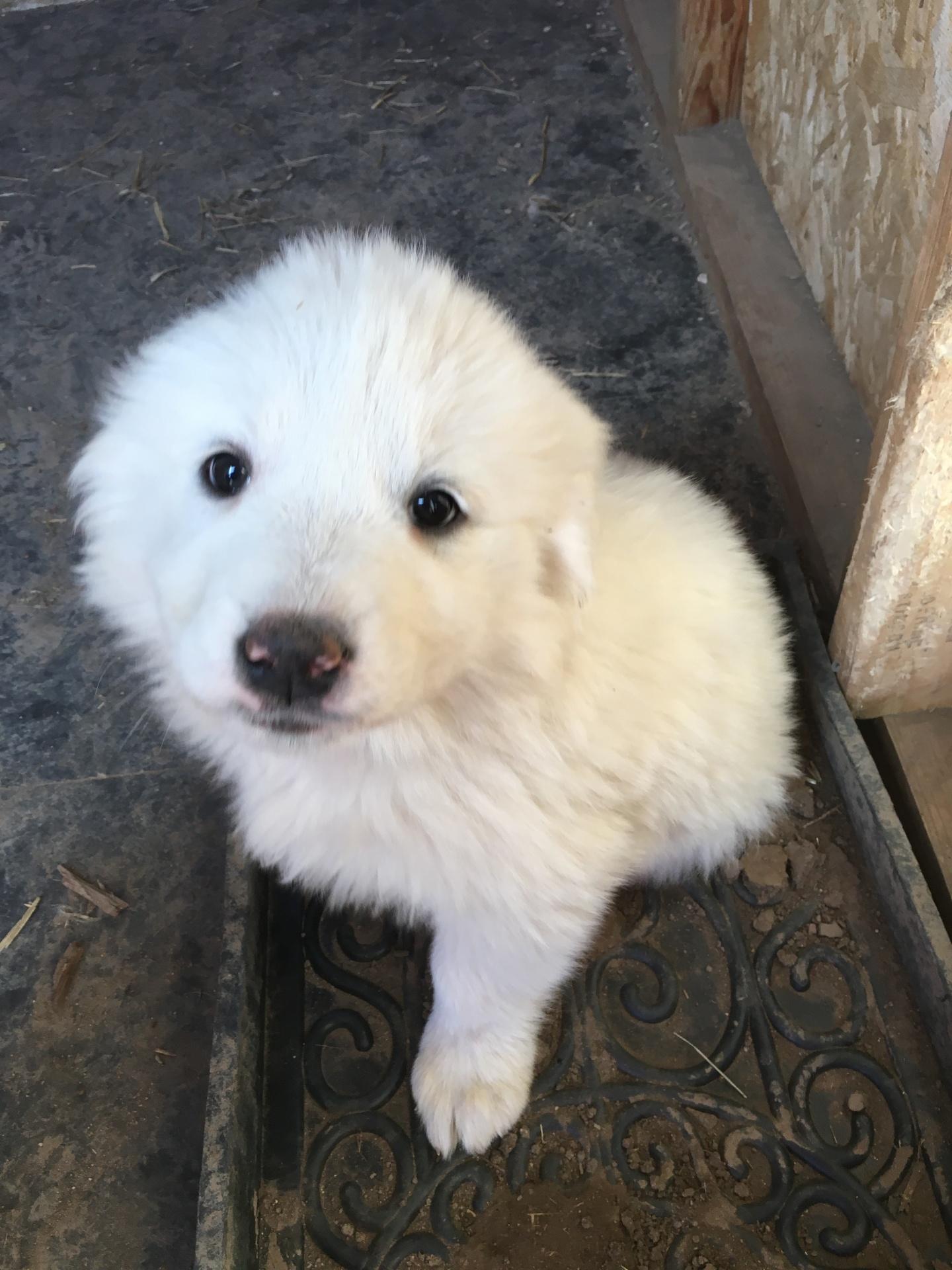 Pink collar puppy (female)