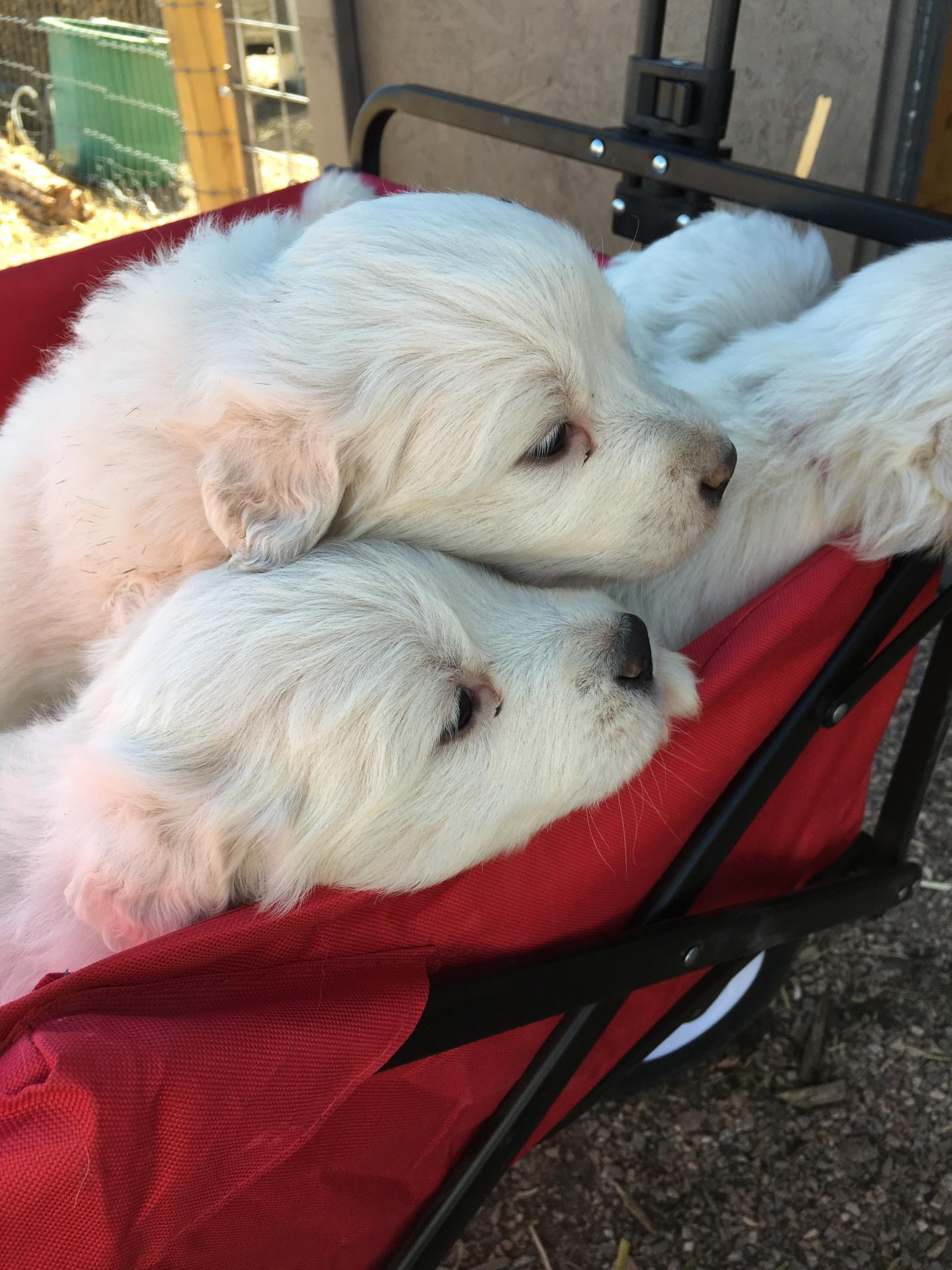 Puppy wagon
