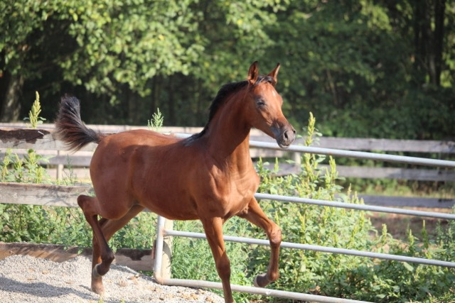 STLA Freeze Frame 2015 Partbred Filly - Monogramm JD X Khelli PGA (by Khadraj NA)