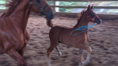 STLA Wicked Good 2015 Partbred Filly - Monogramm JD X Willamena B (by Baske Afire)