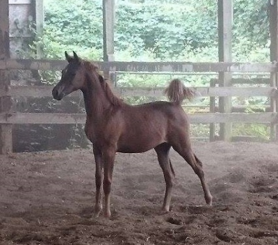 STLA Raining Sunshine 2015 Purebred Filly -- Monogramm JD X Ames Lora (by Afire Bey V)