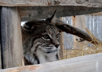 North American Bobcat