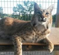 North American Bobcat