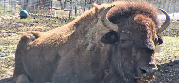 YWS Partners with Carbon County Historical Society for Bison Education