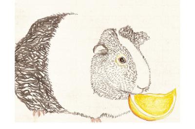 Porquinho da Índia, 2011.  30 x 20 cm. Rascunho / Sketch