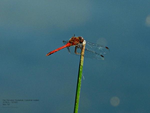 Male Red-veined Meadowhawk (Sympetrum madidum)