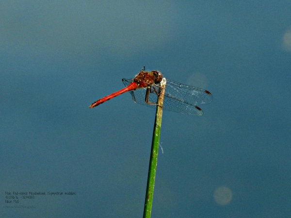 Male Red-veined Meadowhawk (Sympetrum madidum)
