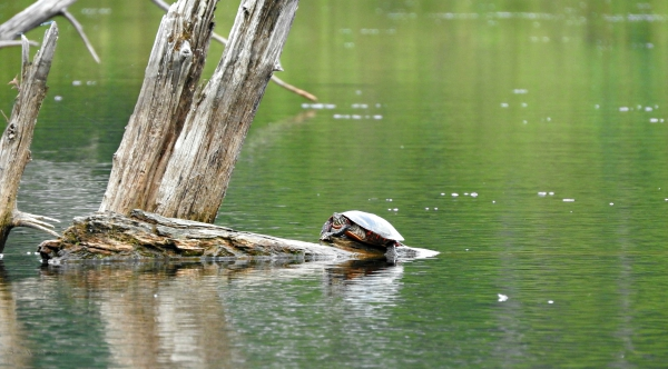 painted turtle, Emydidae(Chrysemys picta)
