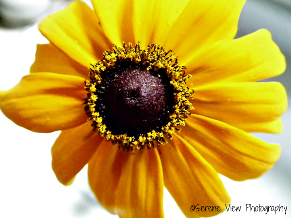 Study of A Black-Eyed Susan
