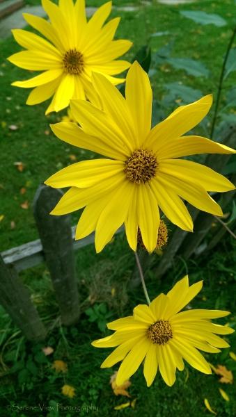 Yellow Bush Daisies