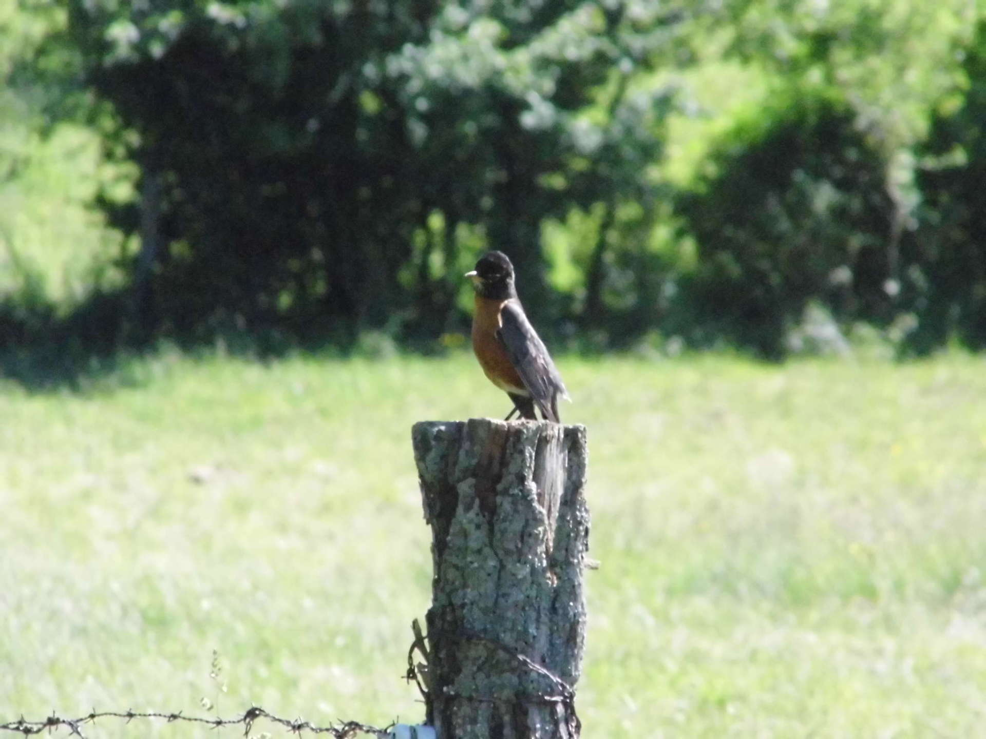Robin Resting On A Fence Post