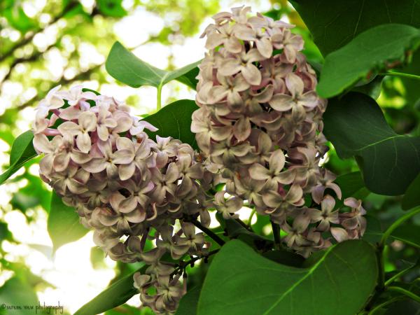 Lilacs In Full Bloom II