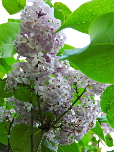 Lilacs In Full Bloom III