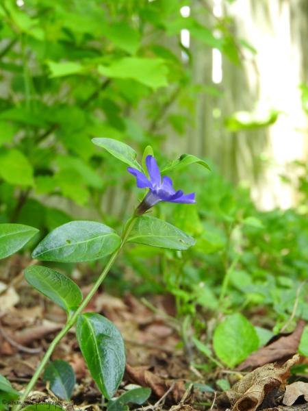 Violet I
