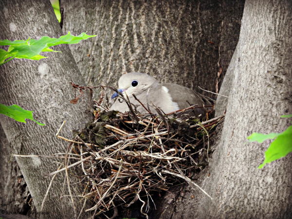 Nesting Turtle Dove I