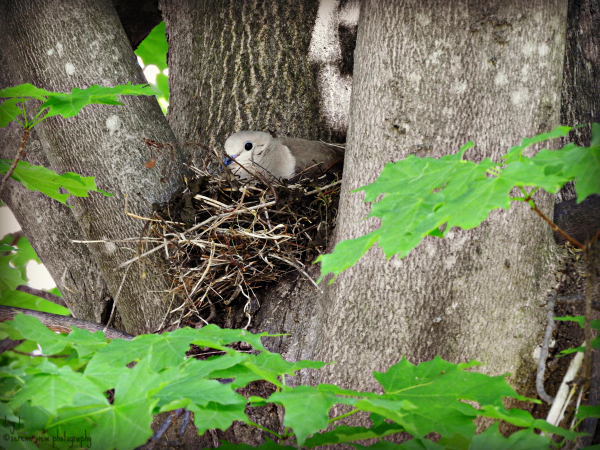 Nesting Turtle Dove II