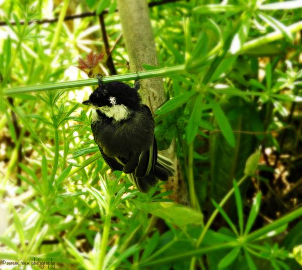 Nestling Black-Capped Chickadee I