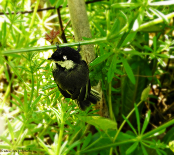 Nestling Black-Capped Chickadee I