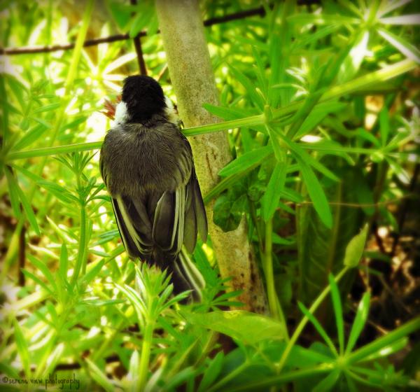 Nestling Black-Capped Chickadee