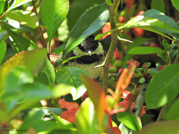 Nestling Black-Capped Chickadee