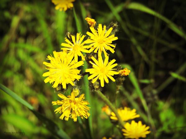 Hieracium sp.