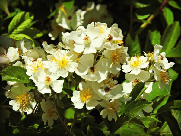 multiflora, multiflora rose