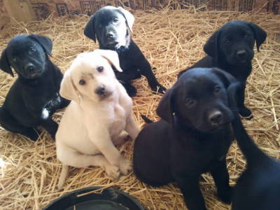 Blackwoods Labradors Puppy