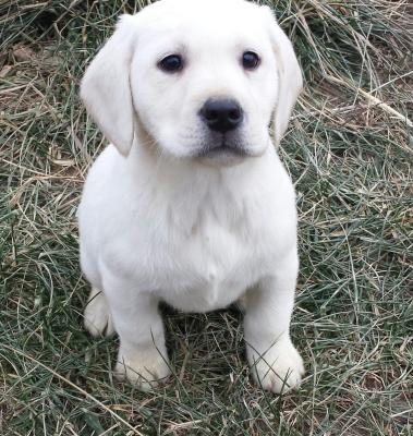 Blackwoods Labradors Puppy 810-513-2515