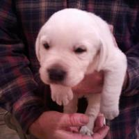 Labrador Puppy Blackwoods 810-513-2515