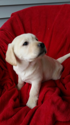 Blackwoods Labradors Puppy 3