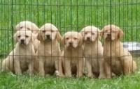 Blackwoods Labradors Puppy 10