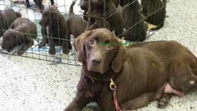 Blackwoods Labradors Girl