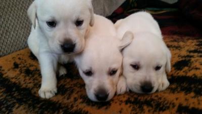 Blackwoods Labradors Puppy 8