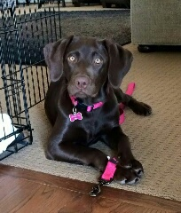 Blackwoods Labradors Puppy 5