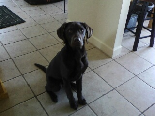 Blackwoods Labradors Puppy 4