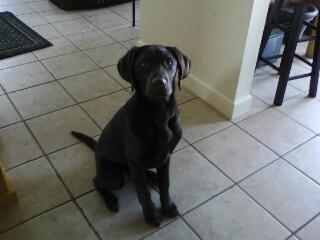 Blackwoods Labradors Puppy 4