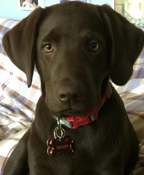 Blackwoods Labradors Puppy 9