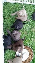 Blackwoods Labradors Puppy 1