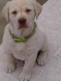 Blackwoods Labradors Puppy 2