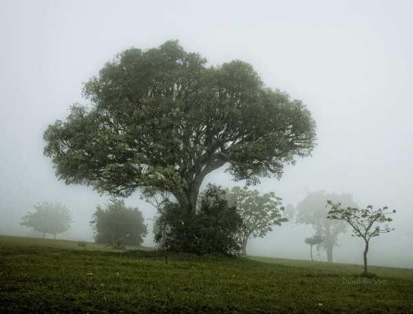 tree, mist
