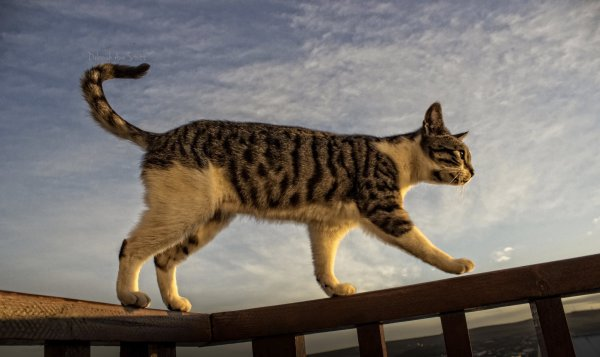 cat, stalking, sky