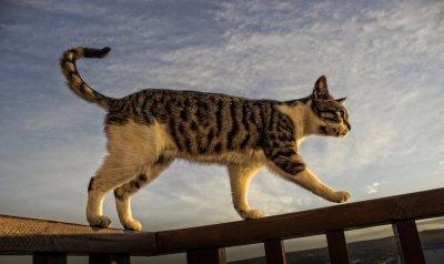 Stalking cat (C) DA Stott (Greasley) 2015